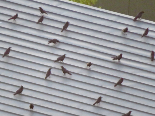 上から見るとアリの様にカラスが集まっていた、夕暮れ時のゴリラ・チンパンジー舎の屋根の上 - 4