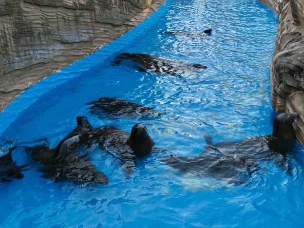 この日はなぜか皆泳いでた、アシカ舎のカリフォルニアアシカ - 1