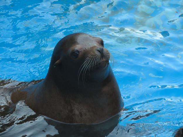 この日はなぜか皆泳いでた、アシカ舎のカリフォルニアアシカ - 3