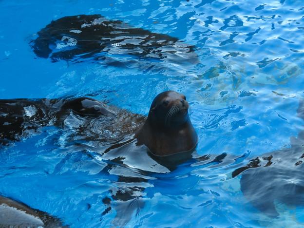 この日はなぜか皆泳いでた、アシカ舎のカリフォルニアアシカ - 4