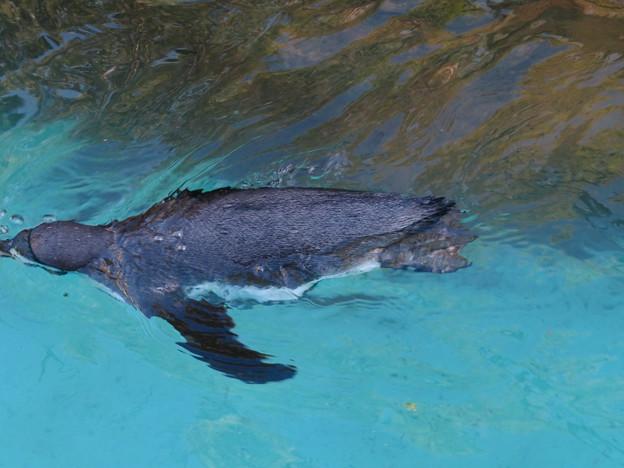 この日はなぜか皆泳いでた、ペンギン舎のペンギン - 1