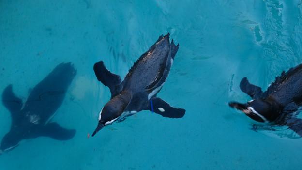 この日はなぜか皆泳いでた、ペンギン舎のペンギン - 2:飛んでるように泳いでる