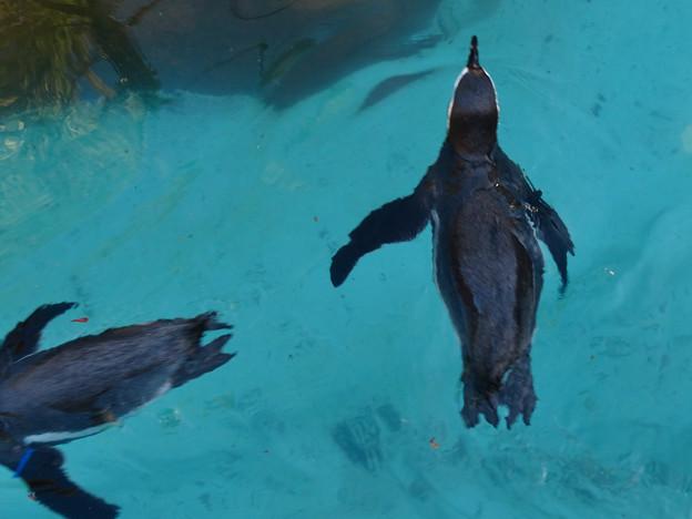 この日はなぜか皆泳いでた、ペンギン舎のペンギン - 3
