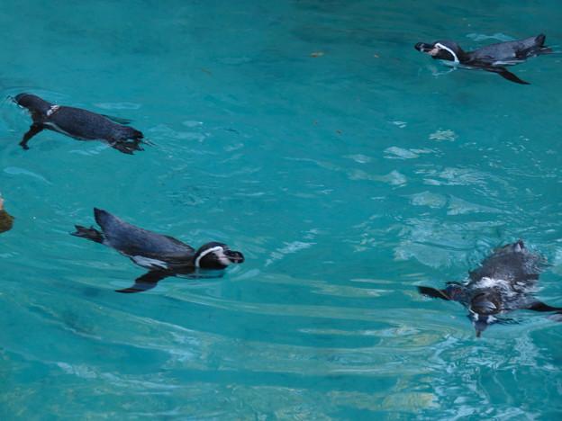 この日はなぜか皆泳いでた、ペンギン舎のペンギン - 4