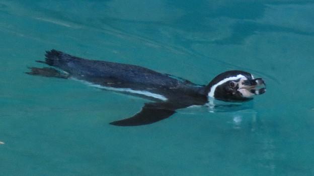 この日はなぜか皆泳いでた、ペンギン舎のペンギン - 5