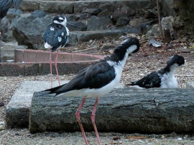 東山動植物園:固まってくつろいでたバードホールの「クロエリセイタカシギ」 - 3