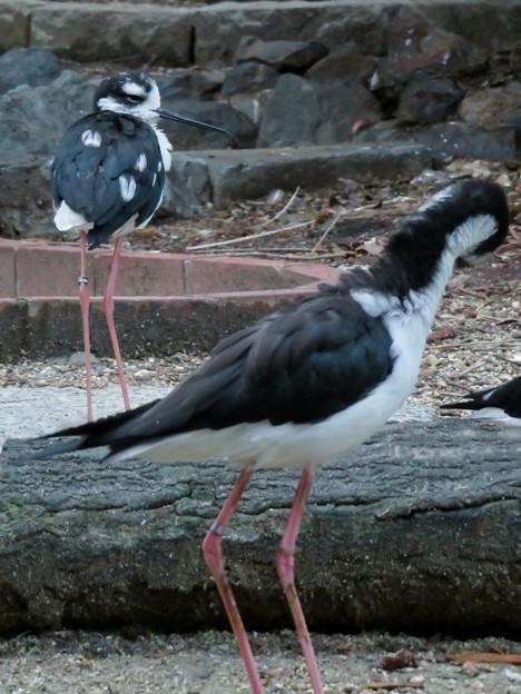 東山動植物園:固まってくつろいでたバードホールの「クロエリセイタカシギ」 - 4