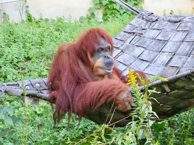 東山動植物園:澄んだ瞳をしていたオランウータン - 1