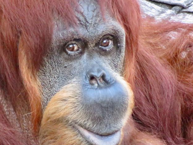 東山動植物園:澄んだ瞳をしていたオランウータン - 2