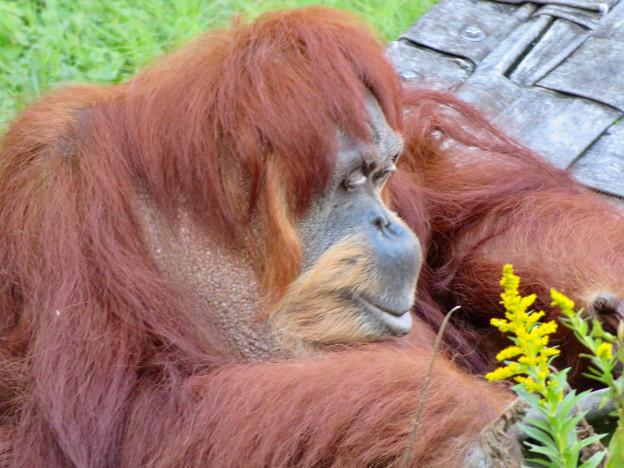 東山動植物園:澄んだ瞳をしていたオランウータン - 3