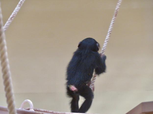 東山動植物園:生まれたばかりのチンパンジーの子供