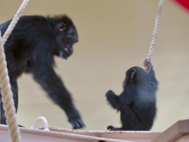 東山動植物園:生まれたばかりのチンパンジーを抱えて移動する母親のチンパンジー - 1