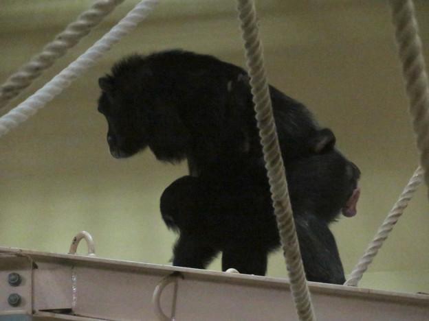 東山動植物園:生まれたばかりのチンパンジーを抱えて移動する母親のチンパンジー - 2