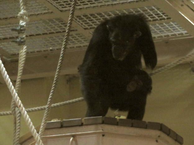 東山動植物園:生まれたばかりのチンパンジーを抱えて移動する母親のチンパンジー - 4