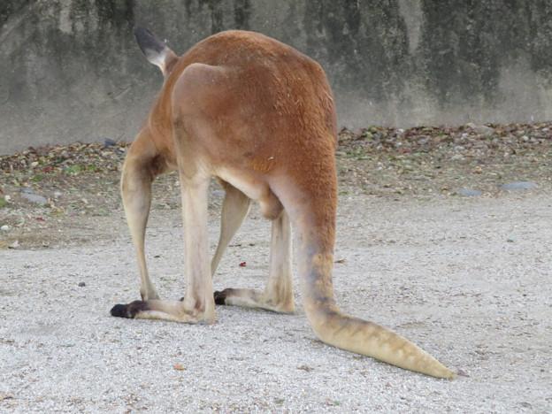 尻尾が直角に曲がっていた東山動植物園のアカカンガルー - 1