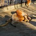 Photos: 相変わらず野生を完全に失ってた(?)東山動植物園のアカカンガルー - 1