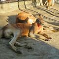 Photos: 相変わらず野生を完全に失ってた(?)東山動植物園のアカカンガルー - 3