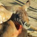 Photos: 相変わらず野生を完全に失ってた(?)東山動植物園のアカカンガルー - 4