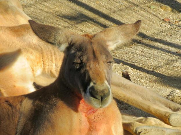 相変わらず野生を完全に失ってた(?)東山動植物園のアカカンガルー - 5
