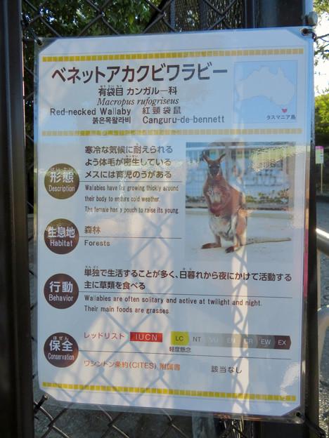 東山動植物園:ベネットアカクビワラビー - 1(説明)