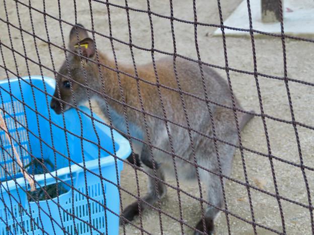 東山動植物園:ベネットアカクビワラビー - 2