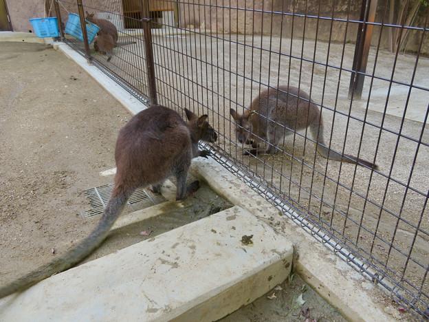 東山動植物園:ベネットアカクビワラビー - 4