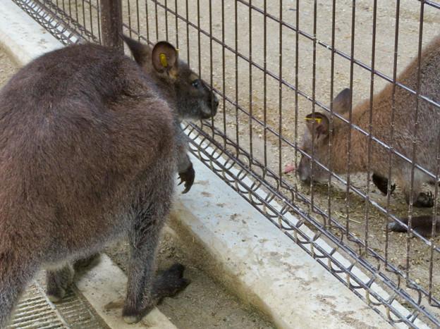 東山動植物園:ベネットアカクビワラビー - 5