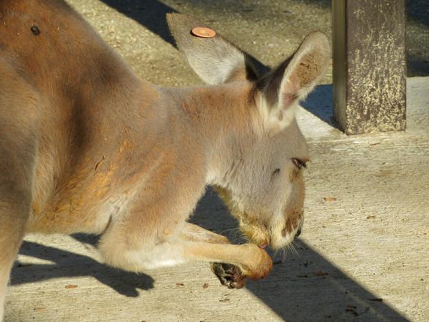 東山動植物園:手を舐めるアカカンガルー - 3