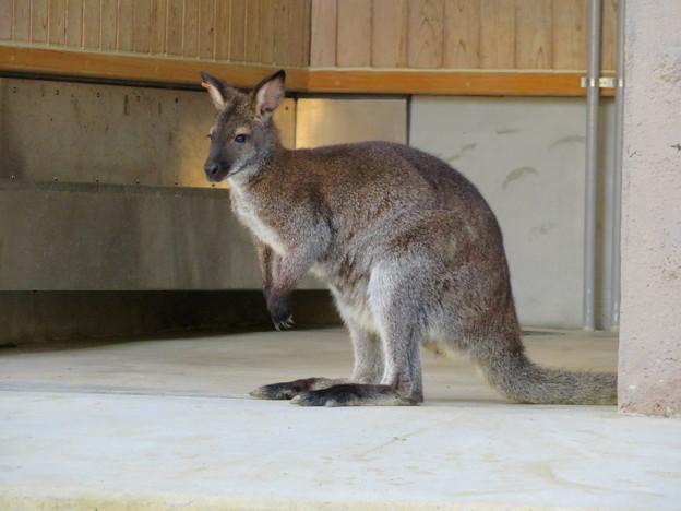 東山動植物園:ベネットアカクビワラビー - 6