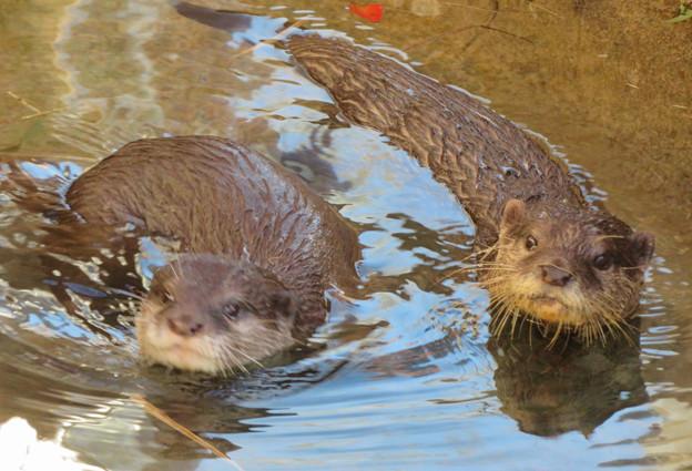 東山動植物園:水の中を泳ぐコツメカワウソの子供 - 1
