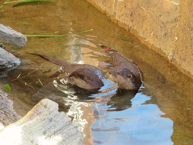 東山動植物園:水の中を泳ぐコツメカワウソの子供 - 2