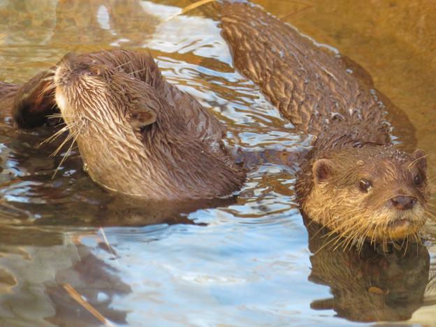 東山動植物園:水の中を泳ぐコツメカワウソの子供 - 3