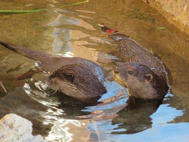 東山動植物園:水の中を泳ぐコツメカワウソの子供 - 4