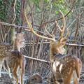 東山動植物園:隣の獣舎の飼育員さんを見るアクシスジカ - 1
