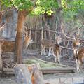 東山動植物園:隣の獣舎の飼育員さんを見るアクシスジカ - 2