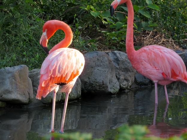 東山動植物園のフラミンゴ - 2