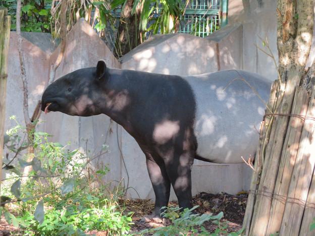東山動植物園のマレーバク - 1