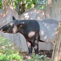 東山動植物園のマレーバク - 2