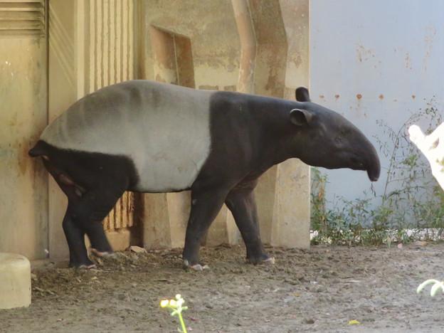 東山動植物園のマレーバク - 4