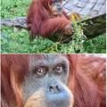 東山動植物園:澄んだ瞳をしていたオランウータン - 4