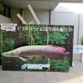 Photos: アクア・トトぎふ No - 6:入り口前にあるピラルクーとの記念写真パネル