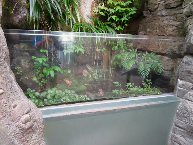 アクア・トトぎふ No - 25:ナガレヒキガエルとアズマヒキガエルの水槽