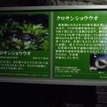 Photos: アクア・トトぎふ No - 34:クロサンショウウオの説明