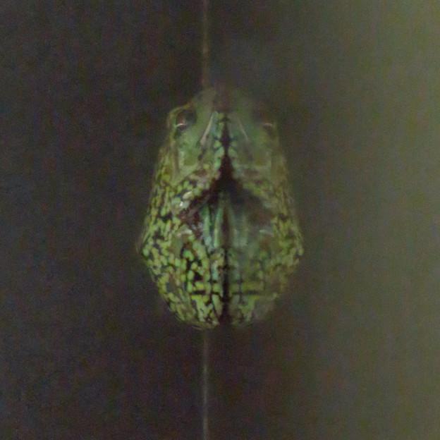 アクア・トトぎふ No - 43:ガラスに張り付いてたモリアオガエル