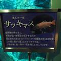 Photos: アクア・トトぎふ No - 46:サツキマスの体に産卵期終わると綿の様な白カビがつくことも