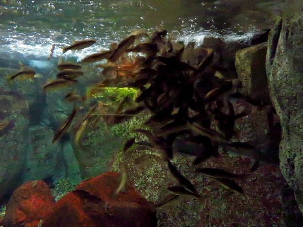 アクア・トトぎふ No - 51:1ケ所に沢山集まってた魚の群れ