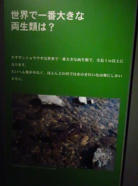 アクア・トトぎふ No - 52:オオサンショウウオは世界で一番大きな両生類