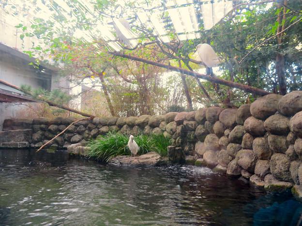 アクア・トトぎふ No - 75:魚が泳ぐところで飼われてるシラサギ