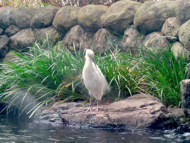 アクア・トトぎふ No - 76:魚が泳ぐところで飼われてるシラサギ
