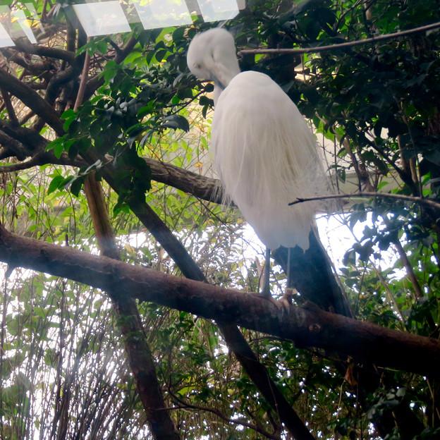 アクア・トトぎふ No - 78:木の上にいたシラサギ